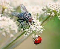 Fly and ladybug royalty free stock photos