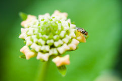 Fly on Lantana camara Royalty Free Stock Images