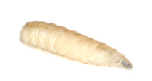 Fly larva used for fishing Royalty Free Stock Image