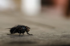 The fly 4 Royalty Free Stock Photography
