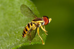 Fly on leaf. A black and yellow fly on a leaf, showing incredible detail Royalty Free Stock Image
