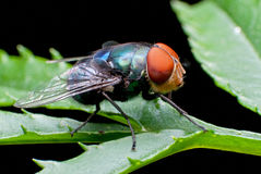 Fly on Leaf. Common house fly on a leaf Stock Image