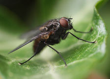 Fly on a leaf Royalty Free Stock Photos
