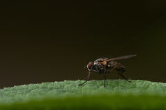 Fly on a leaf. Fly on a green leaf with a dark brown background Royalty Free Stock Image
