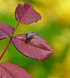 Fly on the leaf. Fly rest on the rose twig in the garden Royalty Free Stock Photos