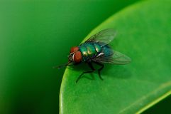 A fly on the leaf Royalty Free Stock Photo