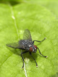 Fly on a Leaf. Little red eyed fly ready to jump Royalty Free Stock Photography