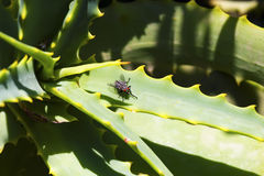 Fly on the leaf of aloe. Vera plant Royalty Free Stock Photography