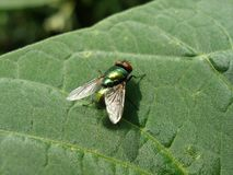 Fly on a leaf. Big fly on a green leaf Royalty Free Stock Photos