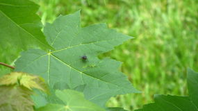 Fly on leaf. Black fly on leaf Royalty Free Stock Photography