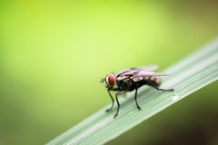Fly on leaf. Blur and soft focus of Fly on leaf with green color background Royalty Free Stock Photography