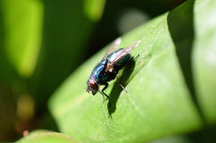 Fly on a leaf Royalty Free Stock Photography