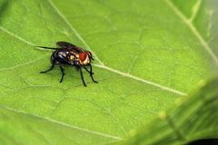 Fly on leaf. Close-up of a fly on a leaf in Papua New Guinea Stock Photos