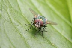 Fly On A Leaf. Common Fly On A Leaf Macro Stock Photos