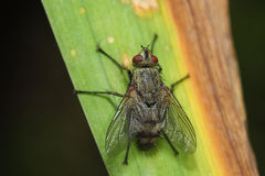 Fly on the leaf. Extreme close up Royalty Free Stock Photo