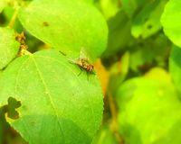 A fly on a green leaf. A fly on a leaf Stock Photography