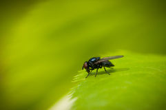 Fly on a leaf. Fly on green leaf otdіhaet Royalty Free Stock Image