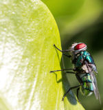 Fly on leaf Royalty Free Stock Images