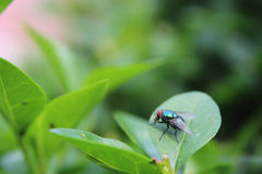 Fly on a leaf. House fly on a leaf - insect photography Royalty Free Stock Photography