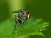 Fly On A Leaf Looking into the Camera Stock Photography
