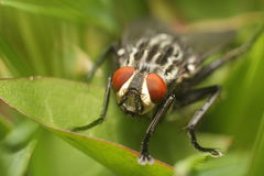 Fly on a leaf macro Royalty Free Stock Photos