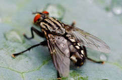 Fly on a leaf. Macro Stock Photo