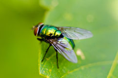 Fly on a leaf Royalty Free Stock Photo
