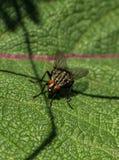 Fly on the leaf Stock Photos