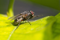 Fly on leaf. Fly macro on green leaf Stock Photography