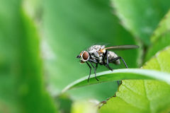 Fly on leaf Royalty Free Stock Image