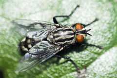 Fly on leaf. Macro photo about a fly on leaf Royalty Free Stock Image