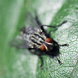 Fly on leaf. Macro photo about a fly on green leaf Royalty Free Stock Images