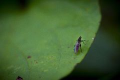 Fly on a Leaf. Macro shot of a fly on a leaf Stock Photography