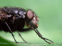 Fly on leaf. Macro shot of big fly Royalty Free Stock Photography
