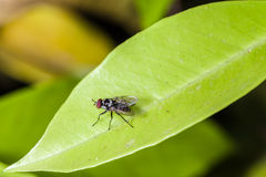 Fly on a leaf. Macro shot of a common house fly crawling over a green leaf Stock Photography