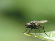 Fly on leaf. Macro shot of fly standing on edge of leaf Royalty Free Stock Photography