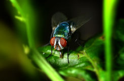 A fly on the leaf in nature Royalty Free Stock Photo