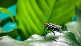 Fly on a leaf. Fly with red eyes bathing on a leaf Stock Images