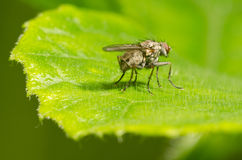 Fly on a leaf. A fly is resting on a green leaf Stock Image