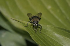 Fly on a leaf. Fly sits on the leaf surface Stock Photo
