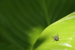 Fly on a leaf. Royalty Free Stock Photos