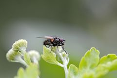 Fly on a leaf. A fly sitting on a bright green leaf Royalty Free Stock Image