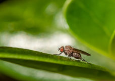 Fly on leaf. Fly sitting on a leaf looking out to the world Stock Image