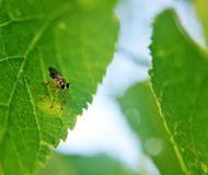 Fly on leaf. Small colorful fly sitting on leaf Royalty Free Stock Photography