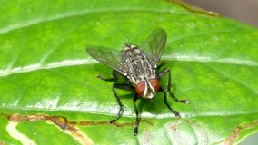 Fly on leaf. stock video footage