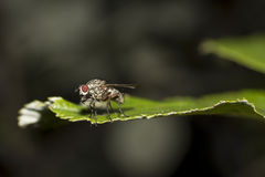 Fly on leaf Royalty Free Stock Photo