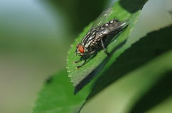 Fly on the leaves Royalty Free Stock Images