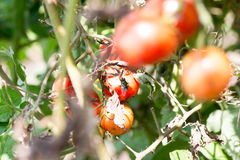 Fly licking rotten cherry tomatoes on farm Royalty Free Stock Images