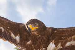 Fly like an eagle. Portrait of a flying golden eagle with spread wings in the blue sky; concept for freedom Stock Photo