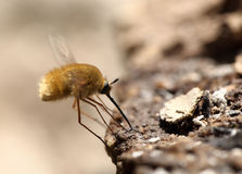 Fly with long legs and a sting searches for meal Royalty Free Stock Photography
